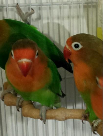 HIGH & STRONG QUALITY Baby Fischer/Masked Lovebirds [£35