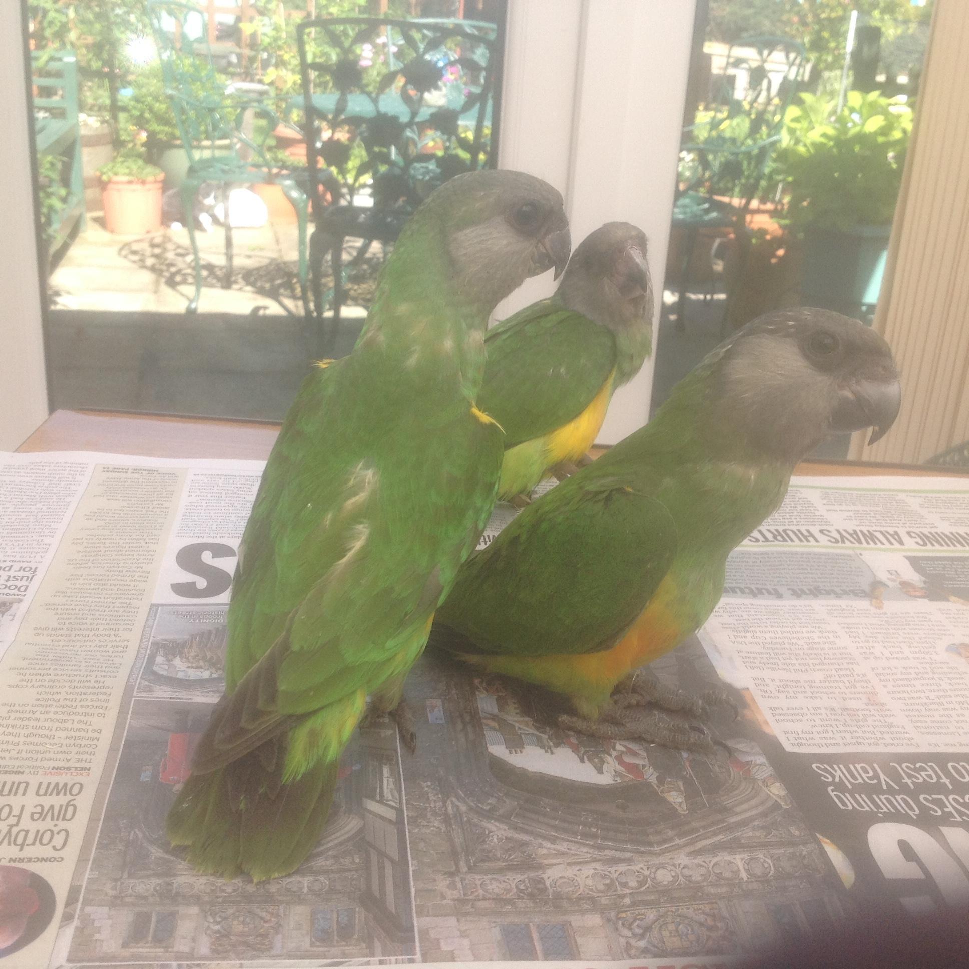 Senagle Parrots in Ashford - Sold | Friday-Ad