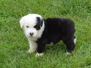 Puppies & Dogs for Sale in London - Buy a puppy near you | Friday-Ad