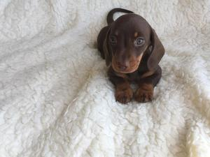 Puppies & Dogs for Sale in Newcastle Emlyn - Buy a puppy
