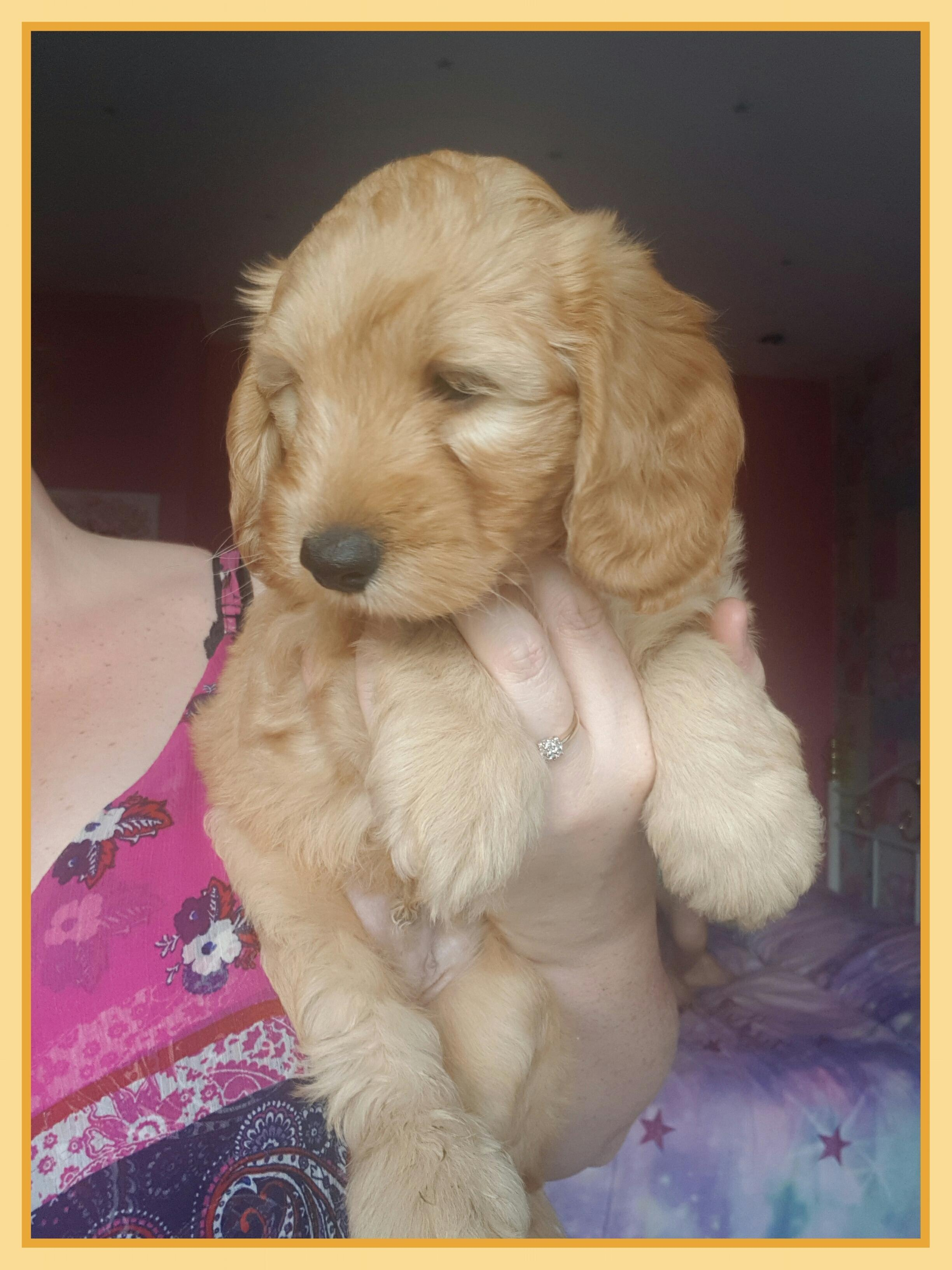 Beautiful f1b cockapoo's in Stockport - Expired | Friday Ad