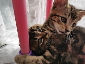 Toyger Kittens For Sale In Pa