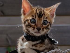 Cats & Kittens for Sale in London   Friday-Ad