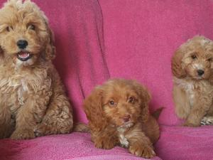 Cockapoo puppies & dogs for sale in Gravesend | Friday-Ad
