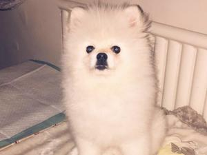 Pomeranian & teacup Pomeranian puppies for sale in