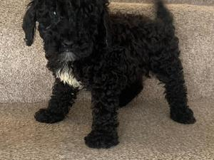 Puppies & Dogs for Sale in Newport - Buy a puppy near you