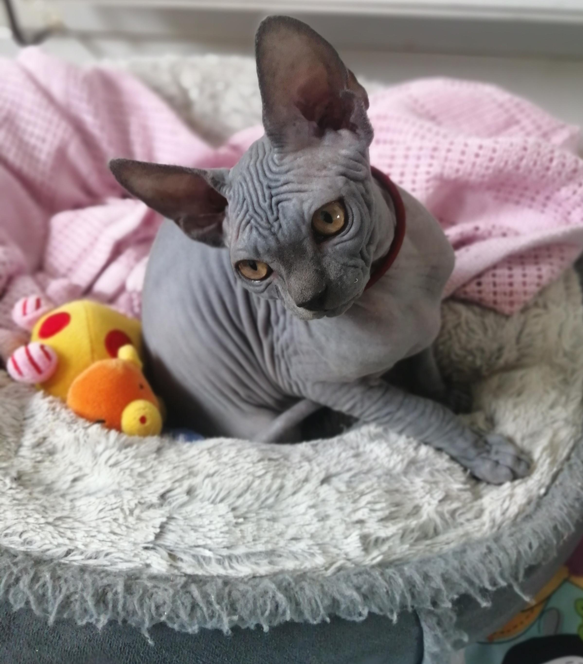 Sphynx kittens in Leven | Friday Ad