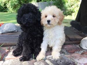 Cockapoo puppies & dogs for sale in Woking | Friday-Ad