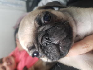 Pug Puppies & Dogs for Sale in Bristol - Buy a puppy near