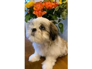 Puppies & Dogs for Sale in Camden Town, London - Buy a puppy