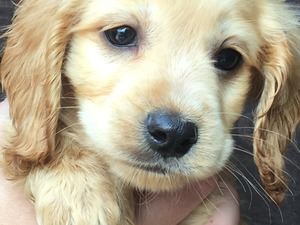 Cockapoo puppies & dogs for sale in Guildford | Friday-Ad