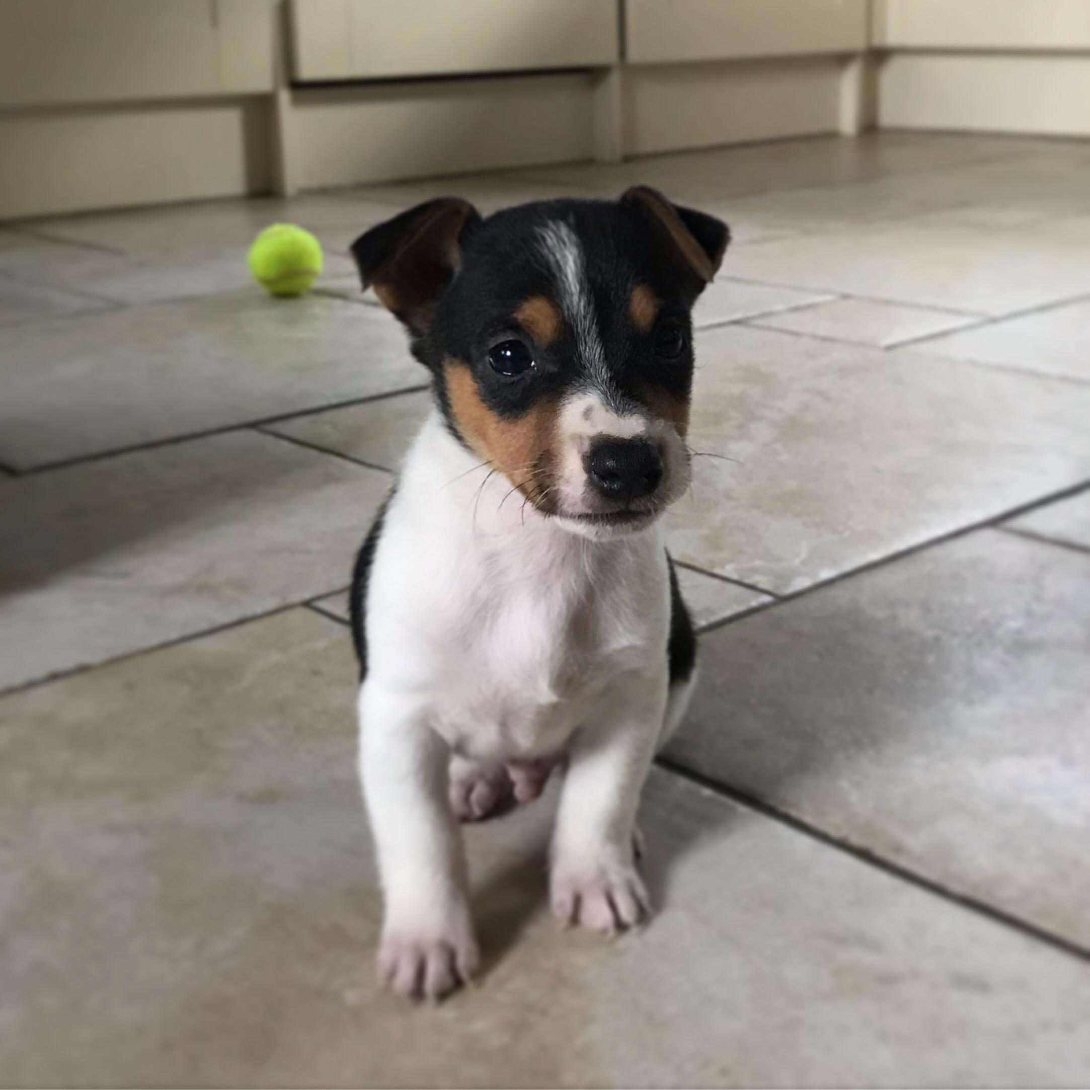 Miniature Short Hair Jack Russell Puppy In Petersfield