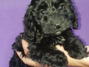 Puppies & Dogs for Sale in Solihull - Buy a puppy near you