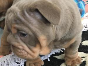 Puppies & Dogs for Sale in Cardiff - Buy a puppy near you