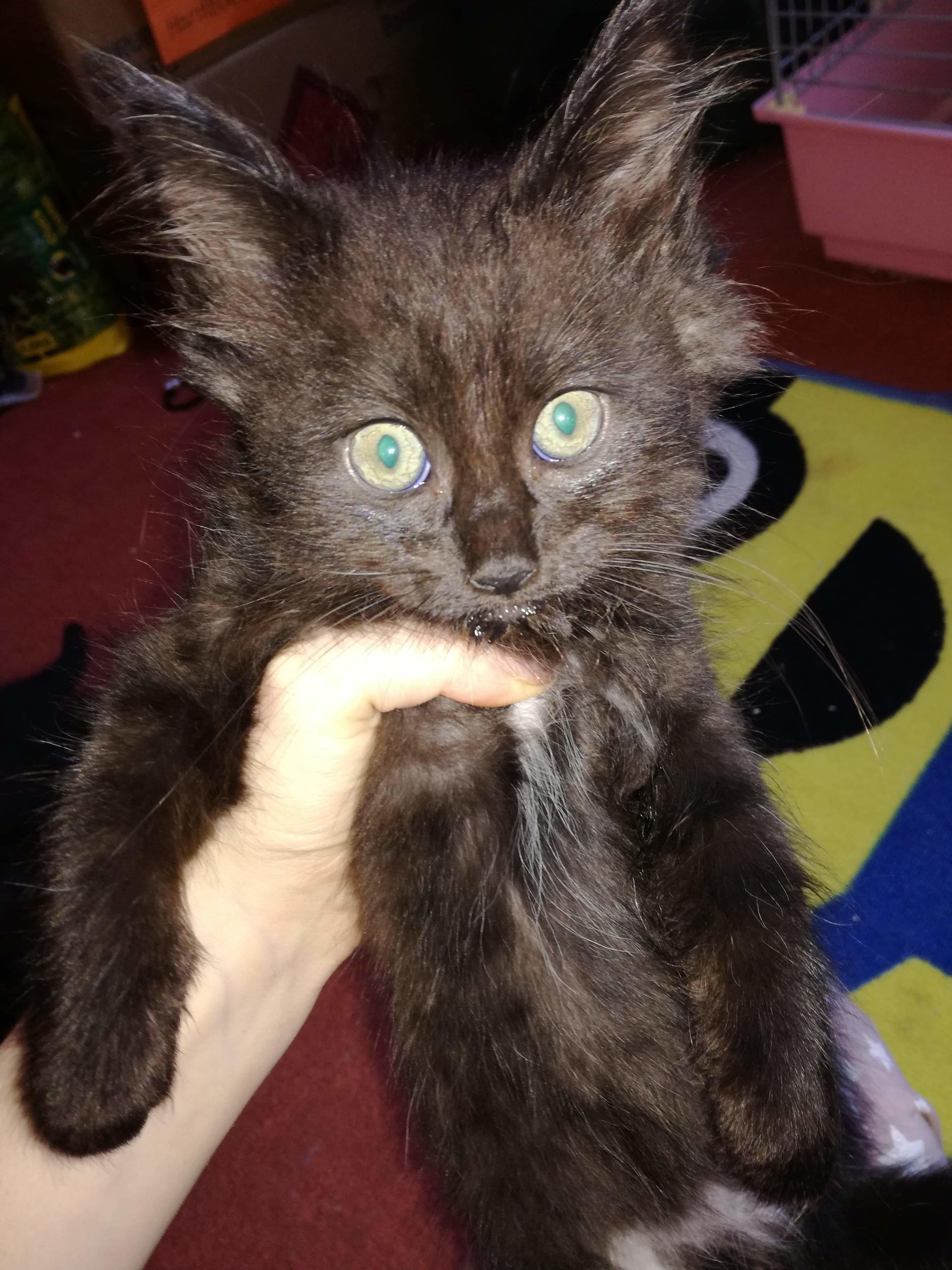 Beautiful 1 4 Ragdoll X Longhaired Kittens In Axbridge