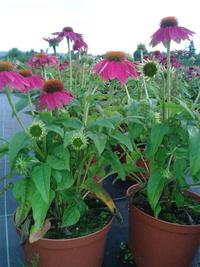 Rudbekie i jeżówki - kwiaty lata i jesieni