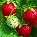 Strawberries for a good reason | Wellness magazine