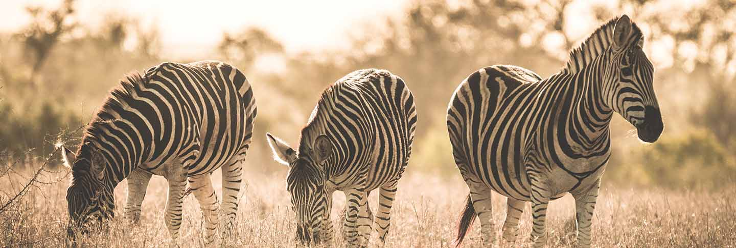 Herd of zebras grazing in the bush. wildlife safari in the kruger national park, major travel destination in south africa. toned image, vintage old retro style.