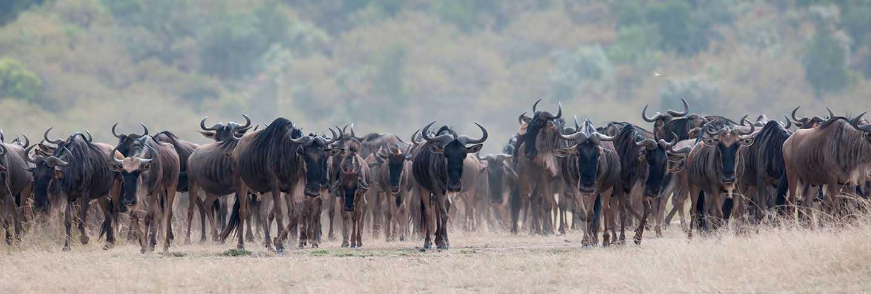 Herd of wildebeests in kenya