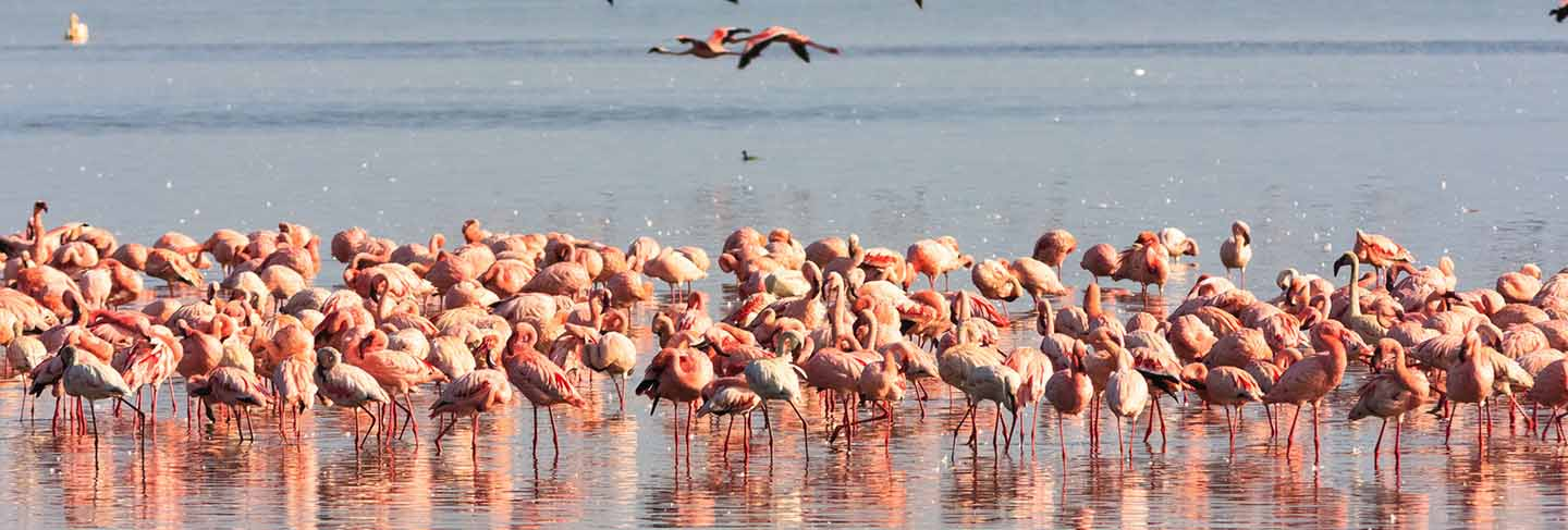 Flamingos from nakuru. kenya