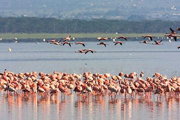 Flamingos from nakuru. kenya
