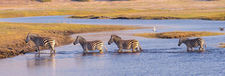 Zebras crossing chobe river