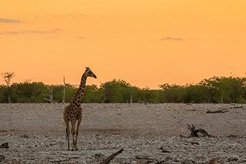Giraffe eating tiny green acacia leaves in okaukuejo, etosha national park