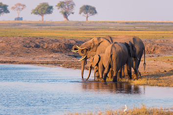 Group of african elephants drinking water from chobe river at sunset. wildlife safari and boat cruise in the chobe national park