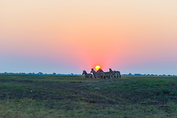 Herd of zebras walking in the bush in backlight at sunset. scenic colorful sunlight at the horizon. wildlife safari in the african national parks and wildlife reserves