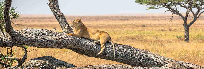 Lioness resting on a tree, at serengeti national park, tanzania