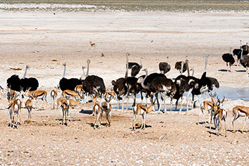 Ostriches in the nature habitat at etosha national park