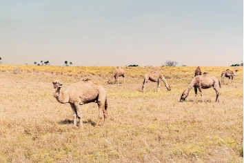 Beautiful picture of feral camels in Australia. wild camels and dromedaries are eating bush in the outback.