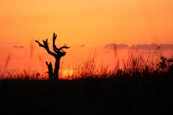 Dead tree silhouette in the grassland at sunset