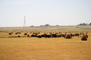 Golden ethiopian landscape, teff fields and tree