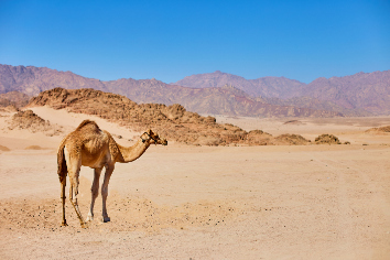 One camel stay on a desert land with blue sky on the background