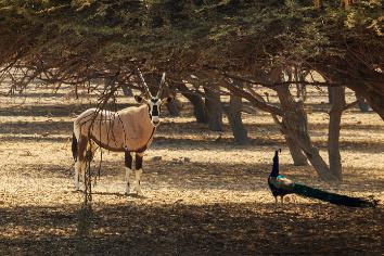 Arabian oryx or white oryx (oryx leucoryx) and peacock in reserve