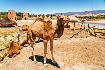Camel and dromedary in mequinenza, near fez, morocco