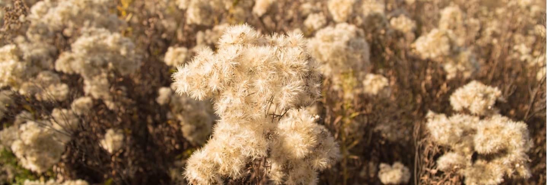 Dry shrubs of dried flowers