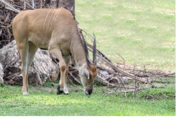 Male defassa waterbuck eatting grass in garden