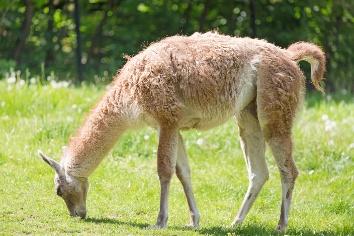 Close up portrait of grazing guanaco llama lama guanicoe on green grass