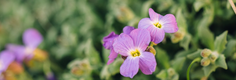 Close up bud of purple aubrietia