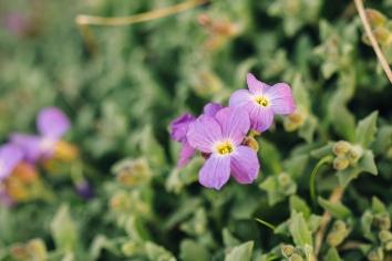 Close up bud of purple aubrieta
