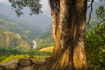 Ancient tree in nepal