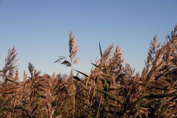 Field Of Straws