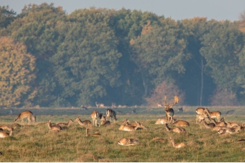 Fallow deer, dama dama, buck with his herd of does at the eremitageslottet in dyrehave, denmark.