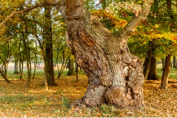 Big old oak tree in autumn forest