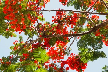 Red and pink flamboyant tree flower petals blooming in dominican republic