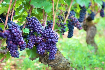 Bunches of grapes growing up in france's fields