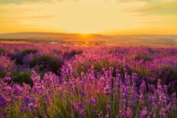 Lavender field at sunset. great summer landscape