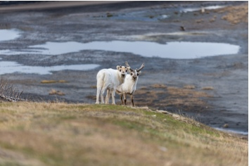 Wild reindeers mother and cub in tundra at summer time